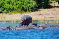 Huge herd of hippos