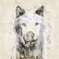 Digital artistic Sketch, based on a self-created 3D Illustration of a Wolf, Model-Release or Property Release not required.