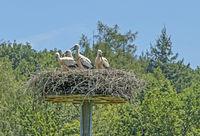 Junge Weißstörche 'Ciconia ciconi' im Nest