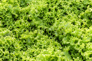 Fresh and green organic lettuce leaves