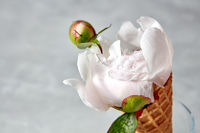A nice gentle bud of peony in a water droplets in a wafer cone on a gray background.