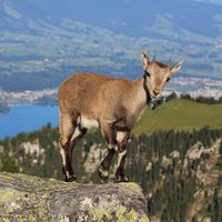 Young alpine ibex standing on the ridge of Mount Niederhorn, Switzerland.