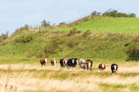 Flock of cows walking on the meadow at the hill