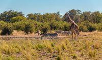 Zebra and giraffe in bush, Botsvana Africa wildlife