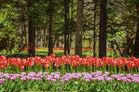 Tulips in the Botanical Garden