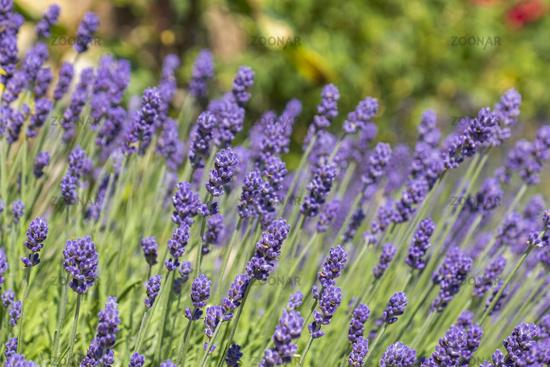 Lavendelbluete
