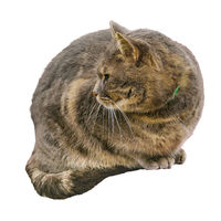 Adult Male Cat Sitting Isolated Photo