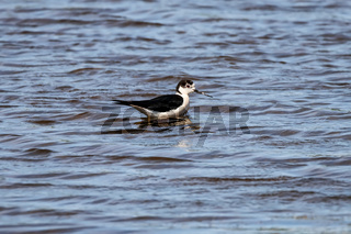 A small steppe Sandpiper with red legs walks on a small pond