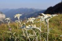 Edelweißblumen in der Gebirgslandschaft