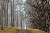 Monterey Cypress Tree Tunnel in Fog.