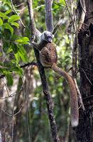Maki-Hybride, Ankanin Ny Nofy, Madagaskar
