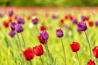 tulip in full bloom in springtime
