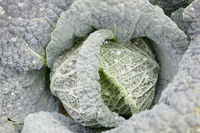 savoy cabbage after watering
