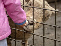 White sheep reaching through fence to eat food from child