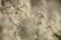 Schaumbluete (Tiarella)