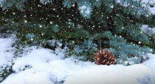 Fir cones on the Fir Branch covered with Snow.