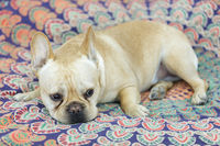Sleepy Frenchie lying down in bed.