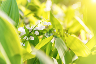 White flowers lily of the valley