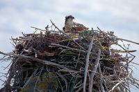 Fischadler auf dem Nest