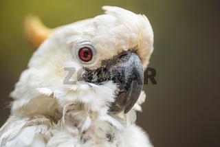 Portrait of white Cockatoo