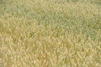 Farben des Sommers... Weizen *Triticum durum*