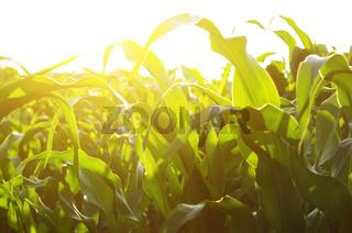 Green Corn Field summer sunny day in Ukraine