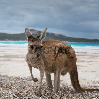 Kängurus im Cape Le Grand National Park, Western Australia
