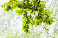 green oak branch in forest with blurred background