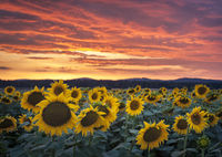 Sunflowers in a field at sunset with dramatic sky