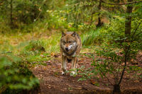Wolf oder Grauwolf (Canis lupus)