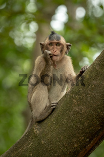 Long-tailed macaque bites shiny object in tree