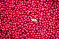 Cranberries are healthy and tasty Northern berry