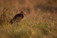 Brauner Sichler an der Algarve