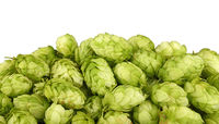 Close up heap of fresh green hops isolated