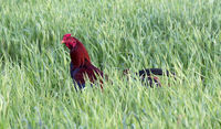 Rooster in the countryside of Madagascar