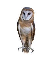 wild barn owl  on white background