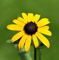 Sonnenhut, Sun hat, Rudbeckia hirta, Heilpflanze
