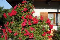 viele rote Rosen am Hausgarten