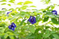 Blue butterfly pea flowers