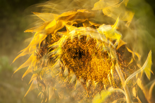 Faded sunflower double exposure