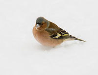 Male chaffinch bird in the snow