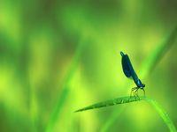 Broad-winged damselflies, male