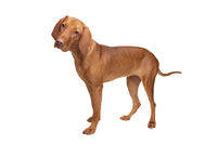 short haired Hungarian Vizsla