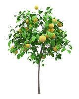 grapefruit tree with grapefruits isolated on white background