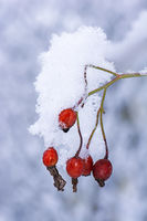 Red rose hips covered with snow