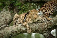 Leopard looks down from branch beside another
