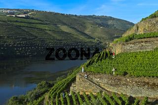 Terrassenförmige Weinberge am steilen Abhängen des Höllen-Tals, Pinhao, Douro Tal, Portugal
