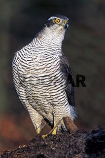 Habicht / Hühnerhabicht / Weibchen / Accipiter gentilis