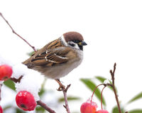 Tree sparrow sitting in a snow covered apple tree