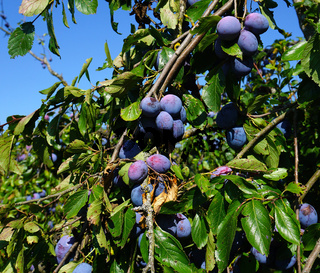 Echte Zwetschge, Prunus domestica subsp. domestica, european plum, common plum,